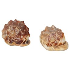 Set of Two Conch Shell, Atlantic Ocean, European South Coast