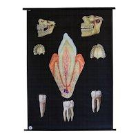Vintage Medical Dental School Teaching Chart - Human Teeth / Anatomical Model