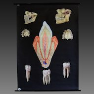 Vintage Medical Dental School Teaching Chart - Human Teeth / Anatomical Model