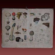 19th Century Engraved Mushroom / Fungi Identification Chart - Antique German Natural HIstory / School Biology Teaching Card