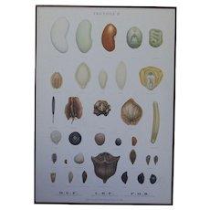 Vintage 1940s Danish Botanical SEED Chart -Ellen Backe School / Botany / Biology / Teaching Chart Print # 4