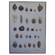 Vintage 1940s Danish Botanical SEED Chart -Ellen Backe School / Botany / Biology / Teaching Chart # 5