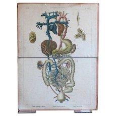 Antique Human Anatomy Medical Teaching Chart - School Biology Print