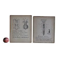 Antique Scientific Hand Drawings - Squid Illustrations - Natural History Diagrams