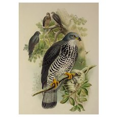 "John Gould Honey Buzzard ""Great Birds of Great Britain"" , 21""x14"" 19th c."