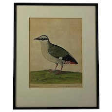Superb Eleazar Albin copper plate print Coturnix Capensis  The Quail from the Cape of Good Hope hand colored