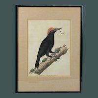 Superb Eleazar Albin copper plate print Vol. II The great black woodpecker hand colored