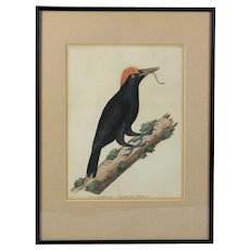 Superb Eleazar Albin copper plate print Vol. II The great black woodpecker hand colored