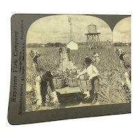 """Stereoview Photo Florida """"Harvesting Indian River Pineapples"""" Stereograph"""