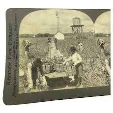"Stereoview Photo Florida ""Harvesting Indian River Pineapples"" Stereograph"