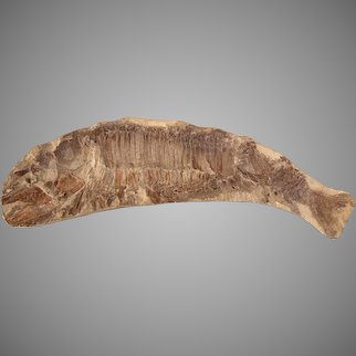 Prehistoric Fossil Of Fossilized Fish Vinctifer Comptoni 100 Million Years Old