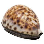 Scottish silver Tiger Cowrie shell snuff box c.1836. Historical interest.