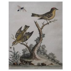 18th Century Hand-Colored Birds Engraving, George Edwards (1694-1773)