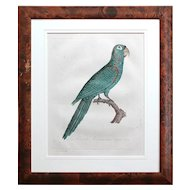After Jacques Barraband, La Perruche Ara Pavouane Tapire, Antique Bird Engraving