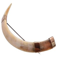 Large Boars Tusk Brooch with 9kt Gold Findings