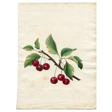 Old Antique Drawing - Fruits, Cherries