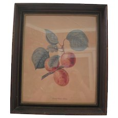 Vintage Framed Abricot/Apricot Fruit Picture