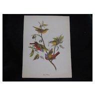 Vintage Audubon Painted Bunting Bird Print