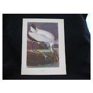 Vintage Audubon Wood Ibis Print
