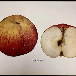 Gravenstein Apple Print
