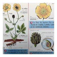 Buttercup Flower (Le Bouton d'Or) / Snail (L'escargot)
