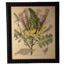 Spectacular Double Size Curtis Botanical Print C. 1843