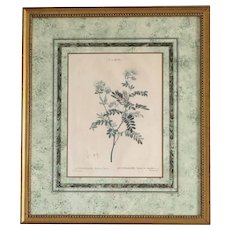 1801- 1819 REDOUTE, Pierre-Joseph - Engraved by Melle. Janinet - ANTHYLLIS Barba-Jovis