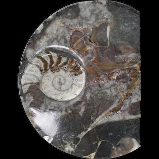 Polished Orthoceras Ammonite Fossil Spiral Dish Specimen