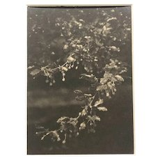 """Silver gelatin photograph """" Leaved Branch"""" circa 1910 by Madame Able De Chatenay"""