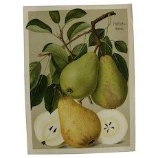"Antique Pear Print - chromolithograph c1900 - ""Hofratsbirne"""