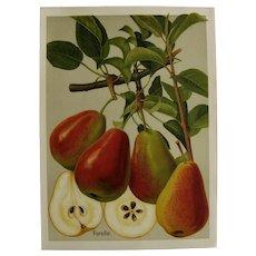 Original fruit print - c 1900 Forelle Pear