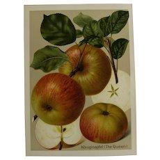"""Antique Apple Print - chromolithograph c1900 - """"Koniginapfel""""  The Queen"""