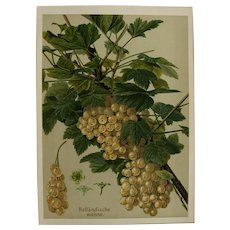"Antique Gooseberry  Print - chromolithograph c1900 - ""Hollandische Weisse"""