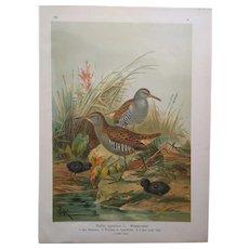Original antique print of Water Rail