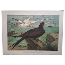 Original antique print of Frigatebird