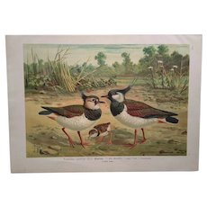 Original antique print of Northern Lapwing