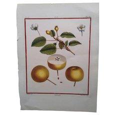 Antique Pear Print - Salviati Pear -  Hand-colored engraving 1768