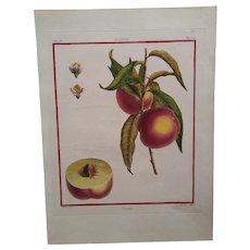 Antique Peach Print - Nivette -  Hand-colored engraving 1768