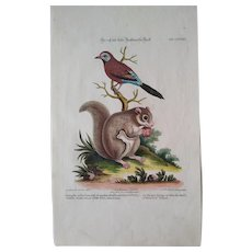 """Antique engraving George Edwards """"Uncommon Birds..."""" 1755 Flying Squirrel & Finch"""