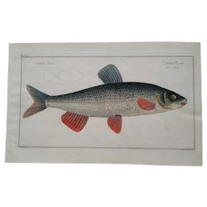 "18th century  engraving of Fish - Marcus Bloch  ""The Nase Carp"""