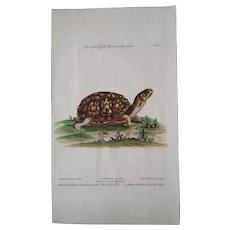 """Antique engraving George Edwards """"Uncommon Birds..."""" 1755   Carolina Tortoise"""