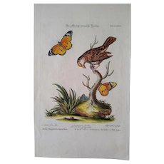 """Antique engraving George Edwards """"Uncommon Birds..."""" 1755   Sparrow - yellow-headed Bengal"""
