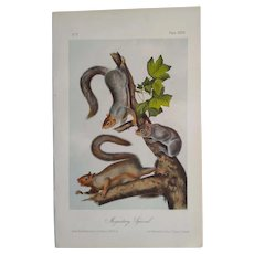 """Audubon """"Quadrupeds of North America"""" - MIGRATORY SQUIRREL- Plate 35-  Hand-colored litho -First octavo edition"""