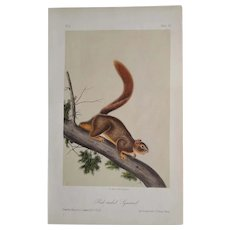 """Audubon """"Quadrupeds of North America"""" - RED-TAILED SQUIRREL - Plate 55 -  Hand-colored litho -First octavo edition"""