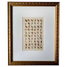 Framed antique shell print - hand-colored engraving - 1828
