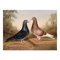 English oil painting of two Racing Pigeons