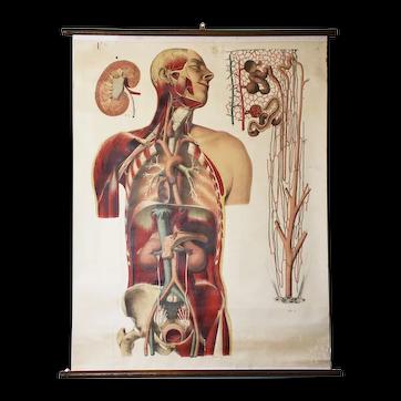 Antique  Medical Chart/ Anatomy