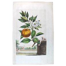 1696 Munting Original Print With Antique Watercolour Large Folio Orange Fruit U31