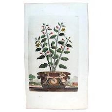 1696 Munting Original Print With Antique Watercolour Large Folio Aloe Purpurea U34