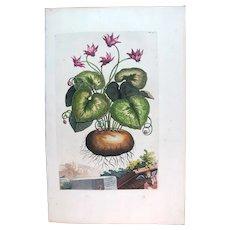 1696 Munting Original Print With Antique Watercolour Large Folio Superb Cyclamen U36